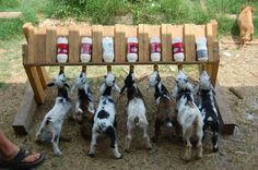 Cute for the baby goats!