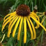 Botanical name: Echinacea paradoxa 'Yellow Mellow'    Other names: Coneflower 'Yellow Mellow' Click image to learn more, add to your lists and get care advice reminders each month.