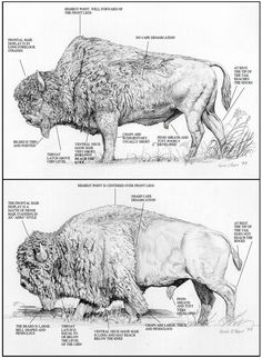 Plains Bison ( we 🇺🇸s, were mistakingly called them Buffalo all these years. Bison is correct, scientifically. Buffalo Animal, Buffalo Art, American Bison, Native American Indians, Majestic Animals, Animals Beautiful, Animal Bufalo, Eging Am See, Buffalo Painting