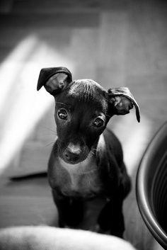 Cute Italian Greyhound