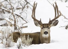 My goal next year to be ready to hunt a mule deer! Time to start upping my poundage on the bow. Mule Deer Buck, Mule Deer Hunting, Bow Hunting, Deer Photos, Deer Pictures, Deer Pics, Beautiful Creatures, Animals Beautiful, Cute Animals