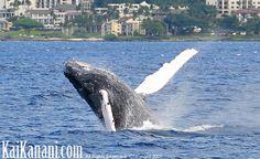 MAUI MAUI MAUI   Baby Humpback Whale