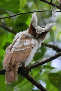 The Crested Owl is strictly nocturnal and feeds mainly on large insects like caterpillars or beetles although probably will take some small vertebrates too.