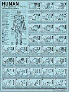 How to Build a Human II: A construction guide to the early human embryo  & fetus - beautiful poster!