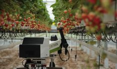 Strawberry-picking robots to gather enough fruit for Wimbledon in 1 week - Hort News Fruit Picking, Strawberry Picking, Wimbledon Tickets, British Summer, Red Berries, Summer Fruit, Small Groups, Robots, Robot