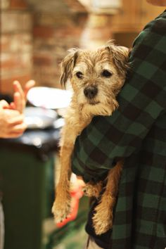 Hanging Out - One fairly chilled Border Terrier!