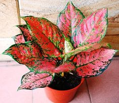 22 Stunning Aglaonema Varieties | Chinese Evergreen Types Ornamental Plants, Foliage Plants, Bamboo Plants, Persian Shield Plant, Chinese Evergreen Plant, Lucky Plant, Air Cleaning Plants, Pink Plant, Rare Flowers