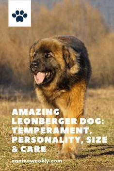Leonberger Dog is one of the most popular gentle giant dog breeds due to its size. Though this amazing breed has gentle demeanor too. Read his post to learn more about the Leonberger dog temperament, personality, and how to care for this type of dog. Dog Breeds That Dont Shed, Top Dog Breeds, Giant Dog Breeds, Large Dog Breeds, Dogs And Kids, Big Dogs, Large Dogs, Funny Dog Faces, Funny Dogs