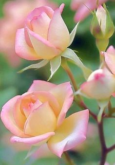 Beautiful Rose Flowers, Beautiful Flowers Wallpapers, Flowers Nature, Exotic Flowers, Amazing Flowers, Pink Roses, Pink Flowers, Pink Rose Flower, Rose Flower Pictures
