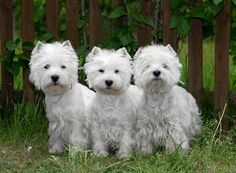 West Highland White Terriers - such a gorgeous bunch!