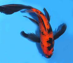Kikokuryu butterfly koi koi pinterest fische teiche for Japanischer kampffisch