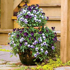 Strawberry Jar Violas Violas are a beautiful and easy-to-maintain plant for the fall, blooming even longer than pansies. This strawberry jar features a striking combination of 'Sorbet Plum Velvet' and 'Sorbet Icy Blue' violas.