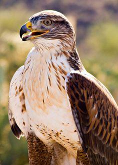 Ferruginous Hawk, Arizona by John Guzowski*