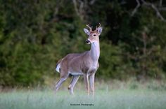 Young White-Tail Buck Deer