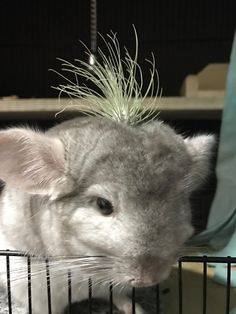 A succulent on his head #aww #cute #chinchilla #chinnies #chinchillasofpinterest #cuddle #fluffy #animals #pets #bestfriend #boopthesnoot #itssofluffy #rodents