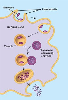 Phagocyte: engulfs microbes and uses lysosomes to digest them. Lysosomes fuse with the vacuole containing the microbes and release digestive enzymes like lysozymes & proteolytic enzyme. White blood cells are phagocytes that aid in immune response.