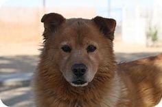 Bellevue, WA - Chow Chow/Retriever (Unknown Type) Mix. Meet REX, a dog for adoption. http://www.adoptapet.com/pet/11667955-bellevue-washington-chow-chow-mix