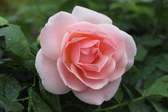 """"""" Astrid Lindgren """" (POUluf) - Floribunda, shrub rose - Light pink - Raspberry fragrance - Olesen (Denmark), 1991"""