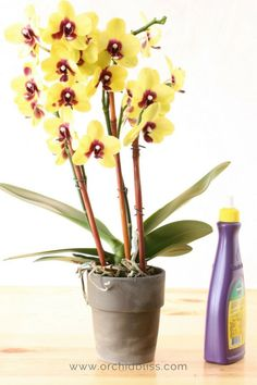 Got orchids without flowers? Find out what to do about it in my super easy guide. #orchidbliss #windowsillorchids #ganrdening #flowers #orchidflowerspike #phalaenopsis #orchids #rebloomorchids