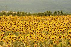 Sunflowers Tuscany  www.cookintuscany.com  #sunflower #floweer #italy #tuscany #cookintuscany