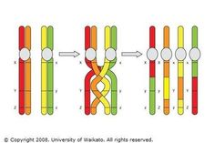 Chromosomes crossing over - During meiosis, homologous chromosomes (one from each parent) pair along their lengths. The chromosomes cross over at points called chiasmat. Science Room, Life Science, Science Ideas, Williams Syndrome, Biology College, Genetic Variation, A Level Biology, Cell Structure, Developmental Delays