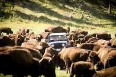 Wendy Pramik, for Rapid City CVB                  Published 8:34 a.m. ET April 10, 2017 | Updated 12:04 p.m. ET April 10, 2017       Herds of buffalo roam free at Custer State Park.(Photo: Rapid City CVB)      Rapid City is aptly named. Every inch of this bustling Midwestern... http://usa.swengen.com/gateway-to-the-cant-miss-wonders-of-the-midwest/