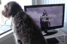Hugo is a movie fan. Wirehaired Pointing Griffons usually are.