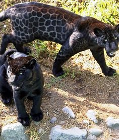 Female jaguar twins Zamba and Cauta roam around at Las Leyendas Zoon in Lima, Peru.
