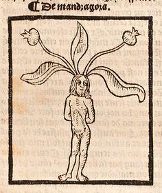Mandragora, Male, 1498  Le Grant herbier (Imprime a Paris , par Pierre Le Caron, leaf m3v. (Historical Medical Library of The College of Physicians of Philadelphia).