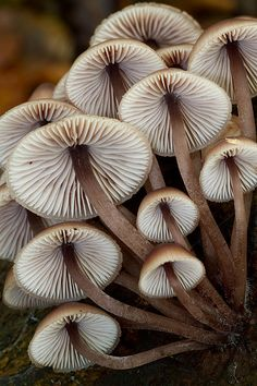 **Mycena mushrooms