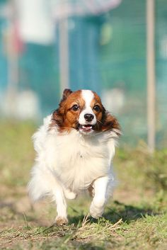 Dog Time Race 8 | Flickr - Photo Sharing!   Papillons