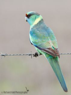 The Australian Ringneck (Barbardius zonarius) is a parrot native to Australia. Except for extreme tropical and highland areas, the species has adapted to all conditions. Jehovah's creation is amazing. Cute Birds, Pretty Birds, Beautiful Birds, Animals Beautiful, Colorful Parrots, Colorful Birds, Tropical Birds, Exotic Birds, Australian Parrots