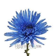 FiftyFlowers.com - Blue Spider Flower. Use these to help decorate a white and chocolate wedding cake.