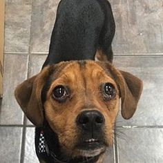 Fort Wayne, Indiana - Beagle. Meet Ellie, a for adoption. https://www.adoptapet.com/pet/21184269-fort-wayne-indiana-beagle-mix