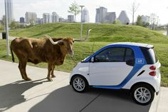 Welcome to Austin, Texas, where Car2Go and longhorns get along just fine! texasgotitright.com