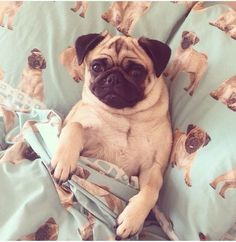 sleepy pug in pug bed so cute!