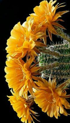 Cactus Art, Cactus Flower, Cacti And Succulents, Cactus Plants, Planting Flowers, Beautiful, Flowers, Plants, Cactus