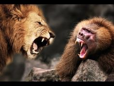 Lion Kill a Baboon - Lion Attack And Killed Baboon