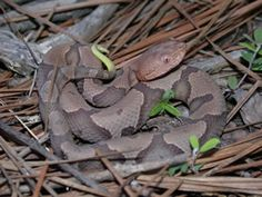 In our area - Copperhead's body is tan to brown with darker hourglass-shaped crossbands down the length of the body. Individuals from the Coastal Plain often have crossbands that are broken along the center of the back. The head is solid brown, and there are two tiny dots in the center of the top of the head. Juveniles resemble adults but have a bright yellow tail tip.