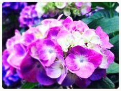 ガーデニング:紫陽花