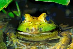 North American Bull Frog, (Rana catesbeiana), Ranidae, via Flickr.