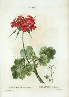 Geranium inquinas, by Redouté.