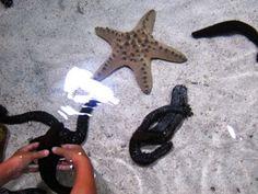 「美ら海(ちゅらうみ)水族館」のタッチプールで触れる海星(ヒトデ)や海鼠(ナマコ)