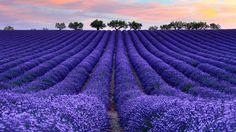 champs de lavande ... magnifique ... :)