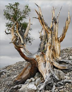 Bristlecone pines, the oldest tree in the world.Bristlecone pines, the oldest tree in the world. Weird Trees, Bristlecone Pine, Unique Trees, Old Trees, Tree Roots, Tree Trunks, Nature Tree, Tree Forest, Tree Art