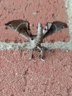 Another species of Sphinx moth -  think it looks like a dragon
