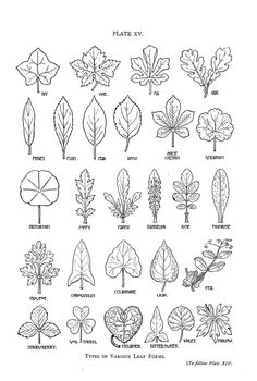 drawing, line, shape - drawing reference, nature journal Botanical - Leaf - shapes Zentangle Patterns, Zentangles, Embroidery Patterns, Embroidery Leaf, Doodle Drawing, Doodle Art, Leaf Drawing, Drawing Step, Botanical Line Drawing