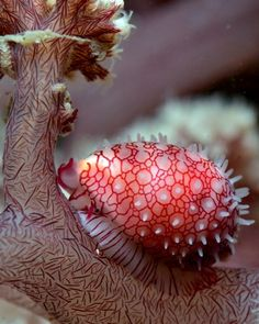 Ovulid on Soft Coral