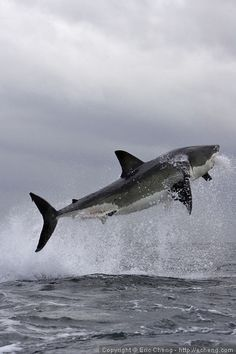 https://flic.kr/p/sNR2i | Great white shark breach | Great white shark breaching near Seal Island, False Bay. Simonstown, South Africa. Taken with Canon 1Ds Mk II and 70-200/2.8L USM IS lens.