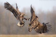 Photograph No mercy . by Mario Severi on White Tailed Eagle, Mario, Dangerous Animals, Birds Of Prey, Bald Eagle, Photograph, Animales, Photography, Photographs